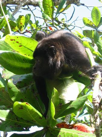 Hotel Kelly Creek: howler monkey in tree outside hotel