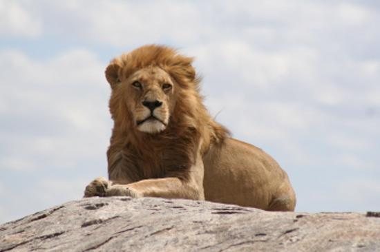 Serengeti National Park, Tanzania: Lion in Serengeti