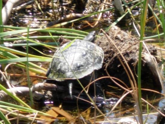 Asur Hotel & Aparts & Villas: A lake turtle - terrapin