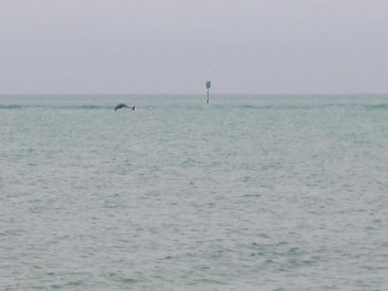 ‪‪The Casa Blanca‬: Dolphin just off beach‬