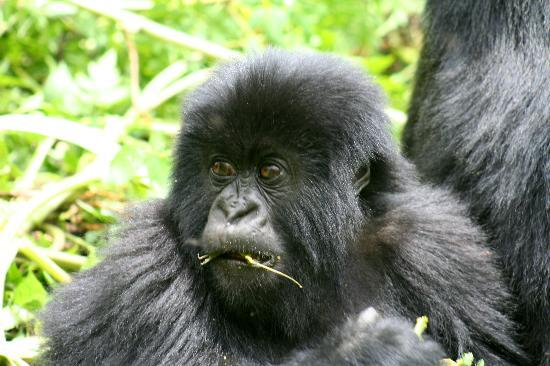 ‪‪Ruhengeri‬, رواندا: Baby Gorilla of the susa family in Rwanda‬