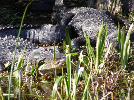 Wakulla Springs, FL: Pair of Alligators