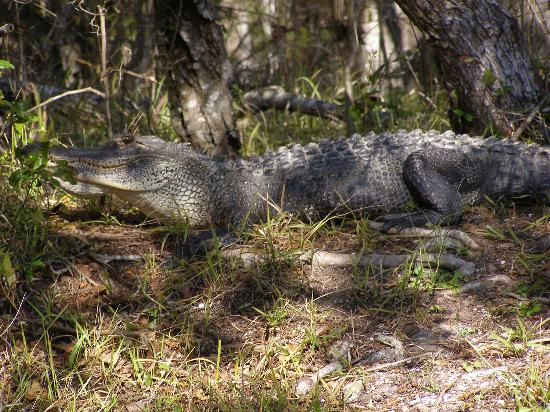 Wakulla Springs, FL: the big guy gator