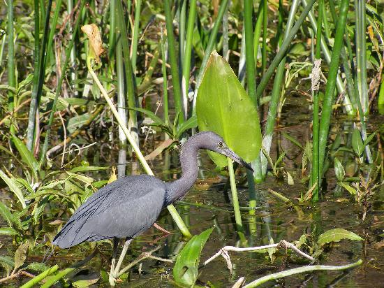 Edward Ball Wakulla Springs State Park: Little Blue Heron