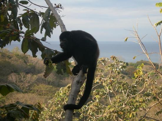 Lodge Vista Del Mar: howler monkey off the patio!
