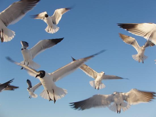Four Points by Sheraton Destin- Ft Walton Beach: Yes We Even Love the Seagulls
