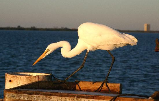 Sanibel Adası, FL: A Great Egret at Sunset, on the Sanibel fishing pier