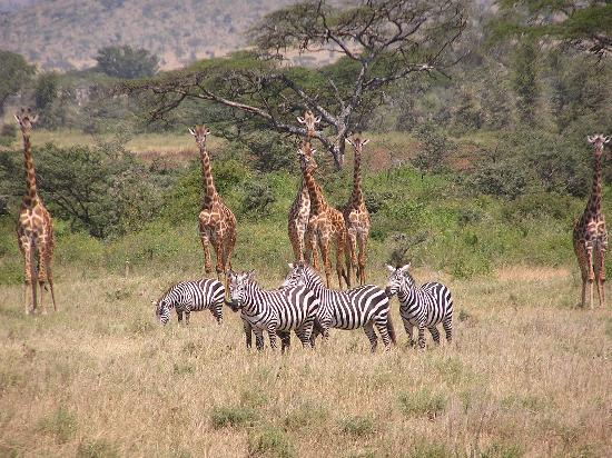 Parque Nacional del Serengeti, Tanzania: Mixed herd of zebra and giraffe