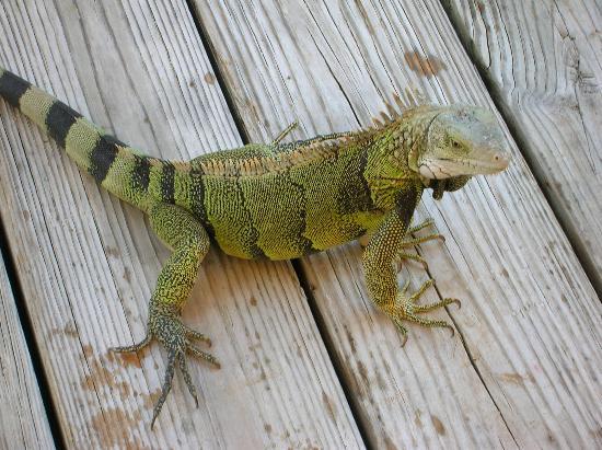 Bucuti & Tara Beach Resort Aruba : One of the many Iguana's running around the property