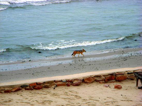 Cape Cross Lodge beach jackal