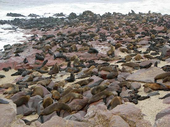 Skeleton Coast Park, Namíbia: Cape Cross Lodge - seal colony