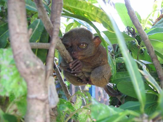 Alona Tropical Beach Resort: Tarsier