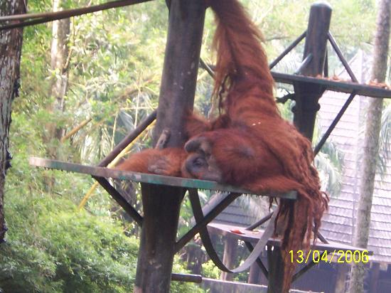 Zoo Negara: Male orangutan lounging about
