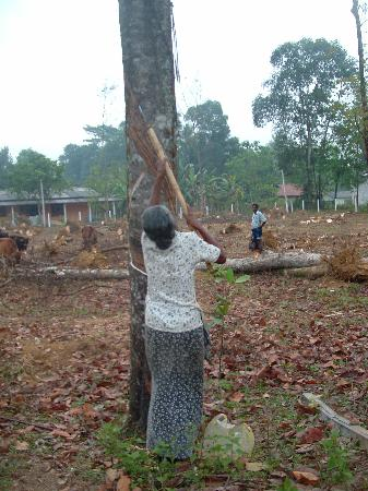 Habarana Village by Cinnamon : Harvesting rubber