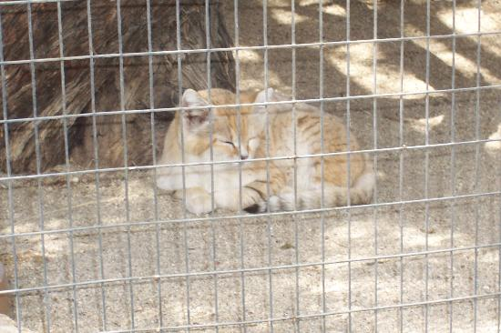 Palm Desert, Californie : Sand Cat