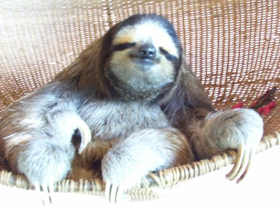 Aviarios del Caribe: Buttercup, the resident sloth