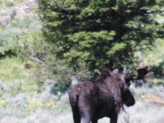 A Bull Mooses Derrier Foto Van Grand Teton National