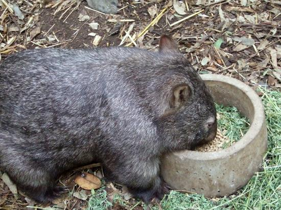Sídney, Australia: cutie wombat at the featherdale wildlife park