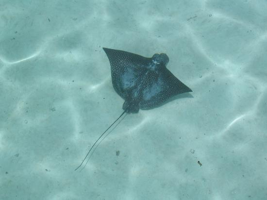 Le Taha'a Island Resort & Spa: Eagle ray