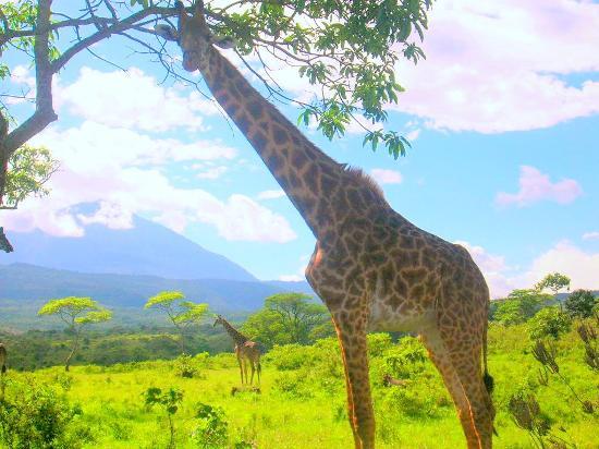 Hatari Lodge: giraffe
