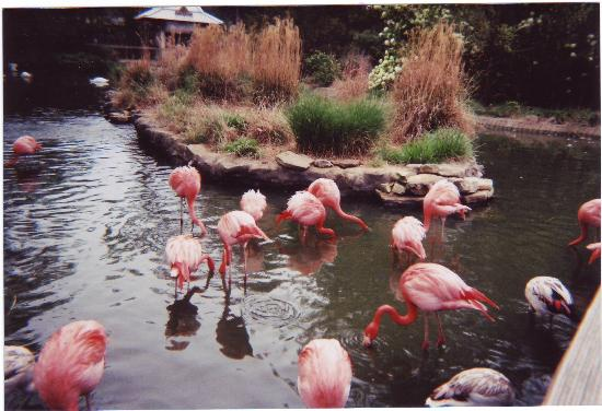 Birmingham Zoo : Flamingoes
