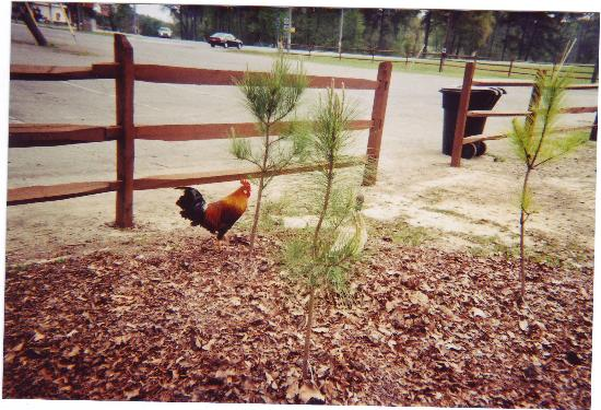 Noccalula Falls Park & Campground: Rooster