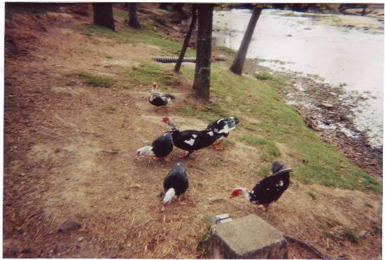 Noccalula Falls Park & Campground: Muscovy Ducks