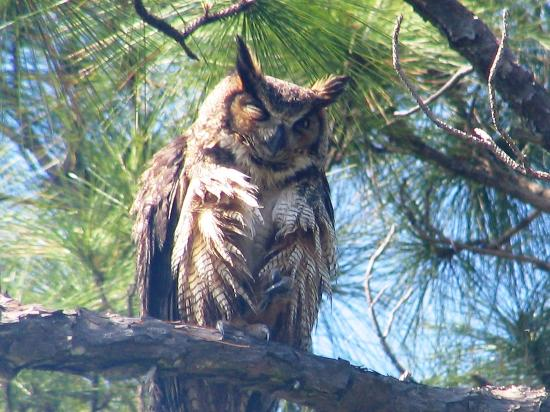 Port Saint Joe, FL: Owl