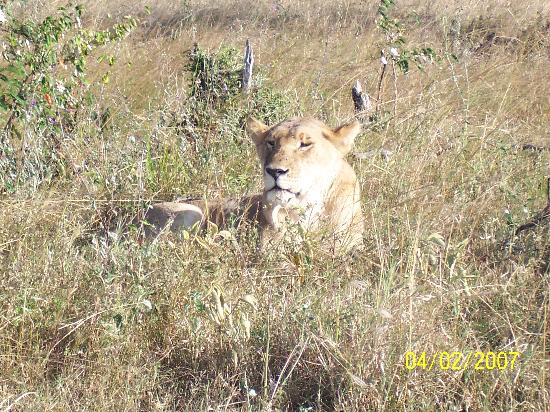 Sarova Mara Game Camp: Lion in the Maasai Mara