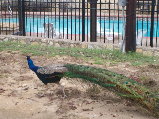 Mayan Dude Ranch: peacock by the pool
