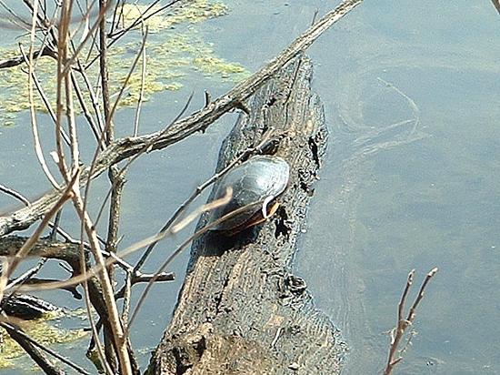 Trempealeau, WI: Turtle