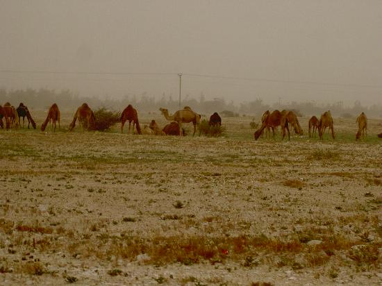 Doha, Catar: more camels