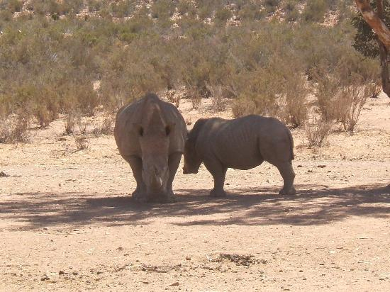 Western Cape, South Africa: Rhinos