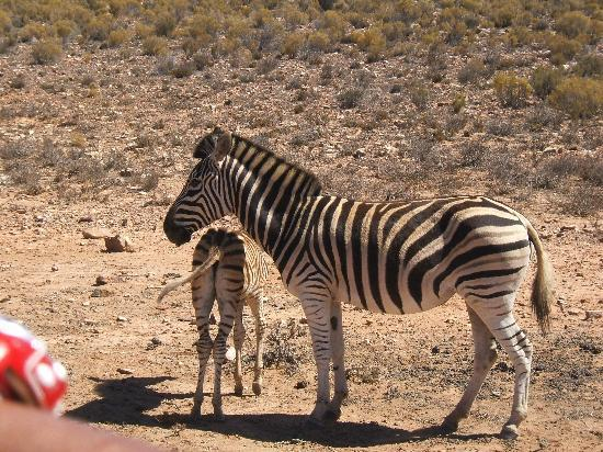 Cap-Occidental, Afrique du Sud : Zebras