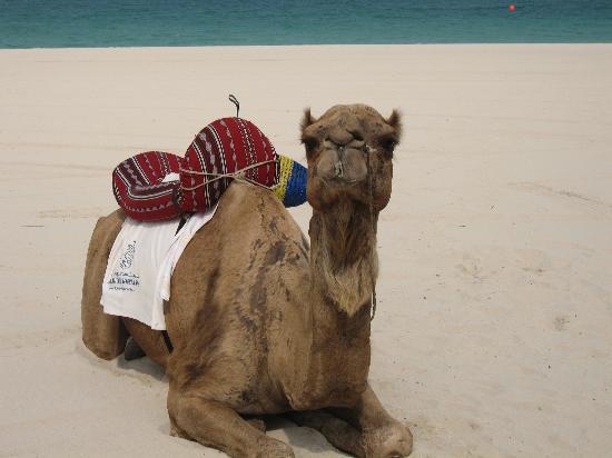 JA Jebel Ali Beach Hotel : charlie the camel