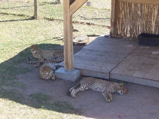 Stellenbosch, South Africa: Cheetahs