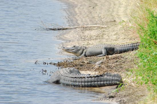 Сарасота, Флорида: A couple of alligators sunning themselves.