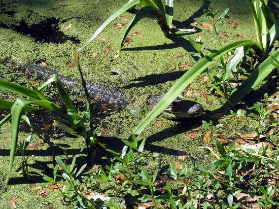 Tabasco Visitor Center and Pepper Sauce Factory: One of the several free-roaming alligators we saw at Jungle Gardens