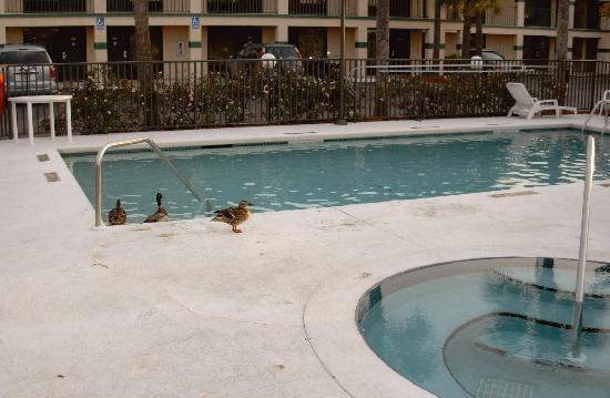 Super 8 by Wyndham St. Augustine Beach: Ducks, Feathers and droppings in pool