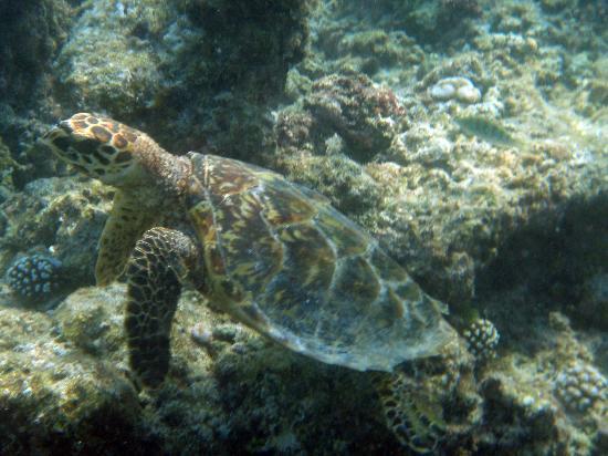 Bathala Island: turtle
