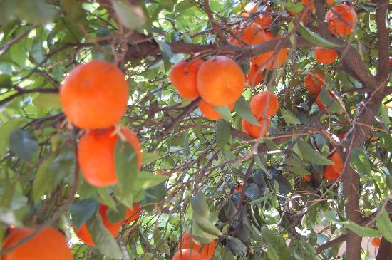 Nice Garden Hotel: The orange trees