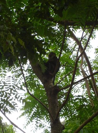 El Nido Resorts Lagen Island: Monkey in a tree at the resort