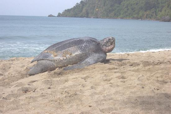 Acajou Hotel: Leatherback turtle we saw in the morning.