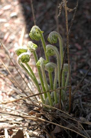 Madison, NH: Fiddleheads