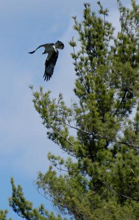 Madison, NH: Osprey