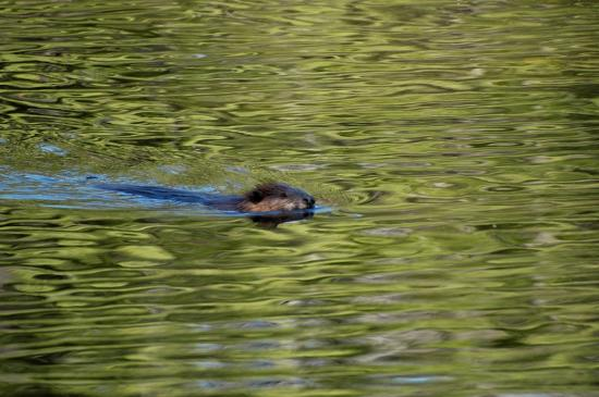 Madison, NH: Busy little beaver
