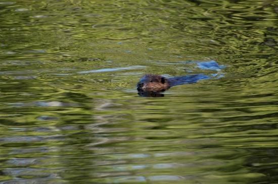 Madison, Nueva Hampshire: Beaver, take 2
