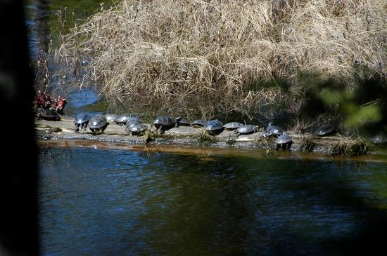 Madison, Nueva Hampshire: Turtles warmin' up