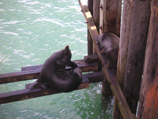 Super 8 Santa Cruz/Boardwalk West: Sea Lions living under the Santa Cruz pier.