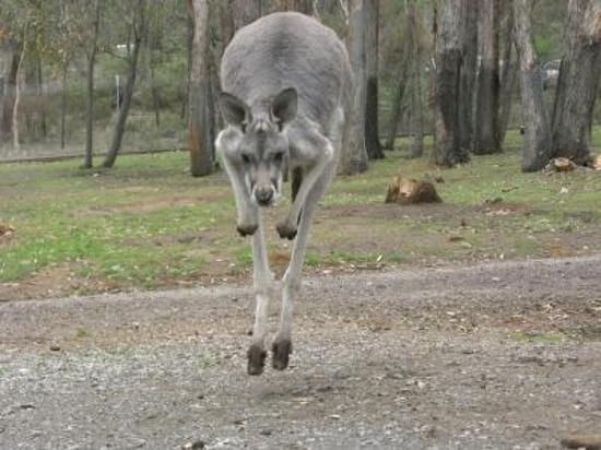 Crafers, Australien: Kangourou
